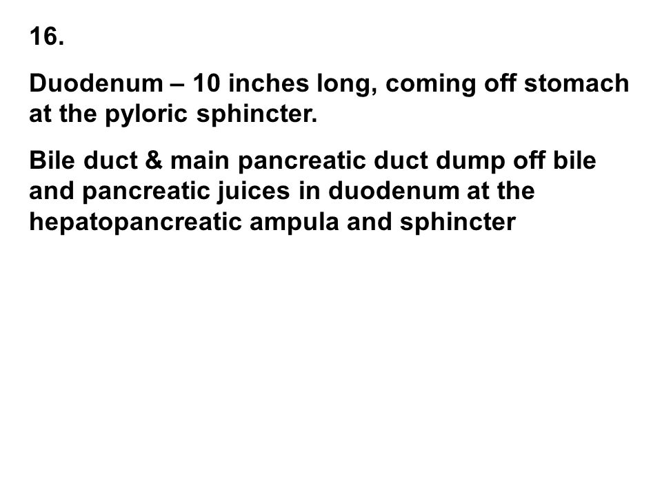 16. Duodenum – 10 inches long, coming off stomach at the pyloric sphincter.