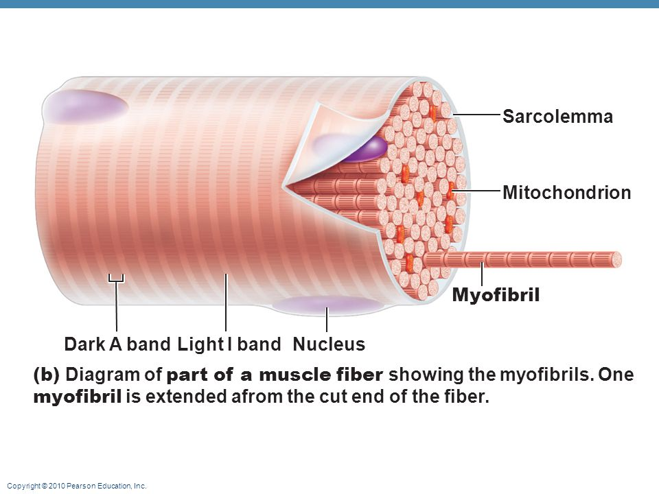 Sarcolemma Mitochondrion. Myofibril. Dark A band. Light I band. Nucleus.