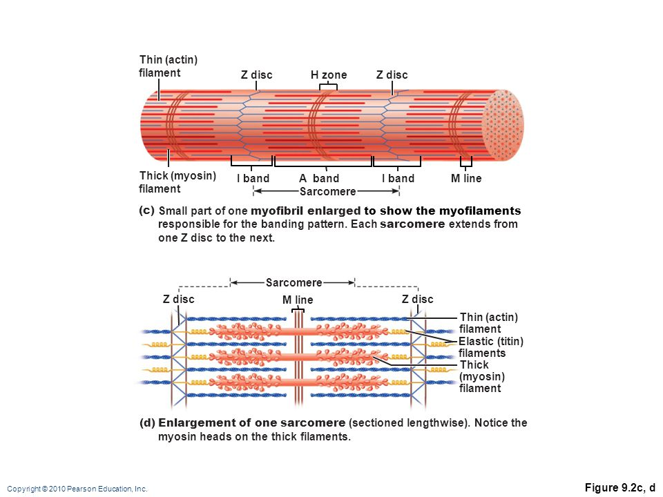 Thin (actin) filament. Z disc. H zone. Z disc. Thick (myosin) filament. I band. A band. Sarcomere.