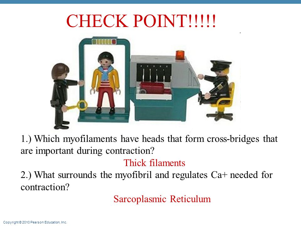 CHECK POINT!!!!! 1.) Which myofilaments have heads that form cross-bridges that are important during contraction
