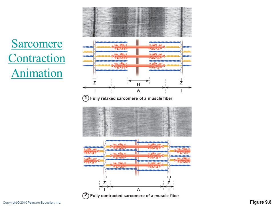 Sarcomere Contraction Animation