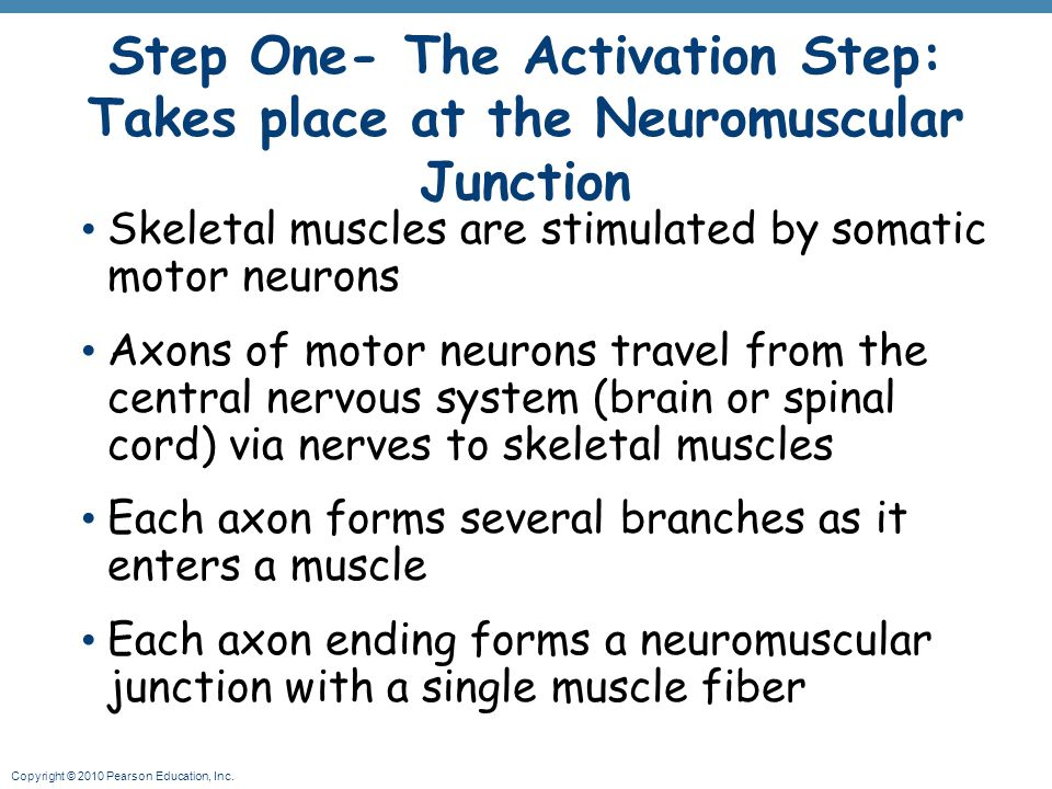 Step One- The Activation Step: Takes place at the Neuromuscular Junction