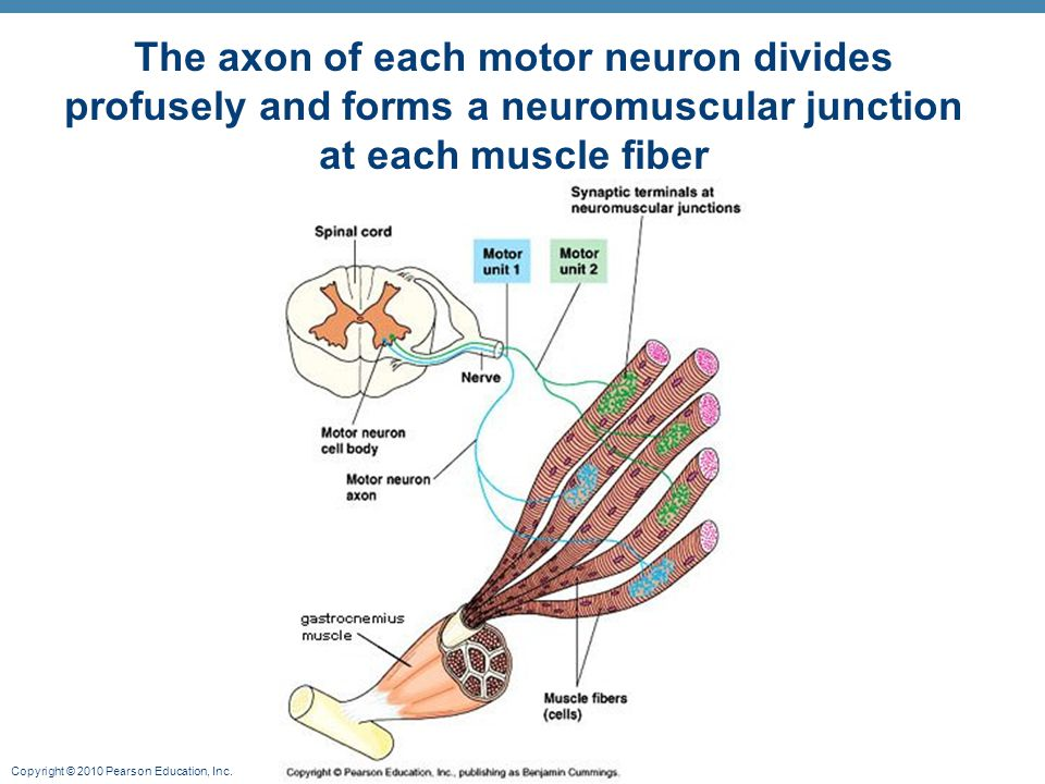 The axon of each motor neuron divides profusely and forms a neuromuscular junction at each muscle fiber