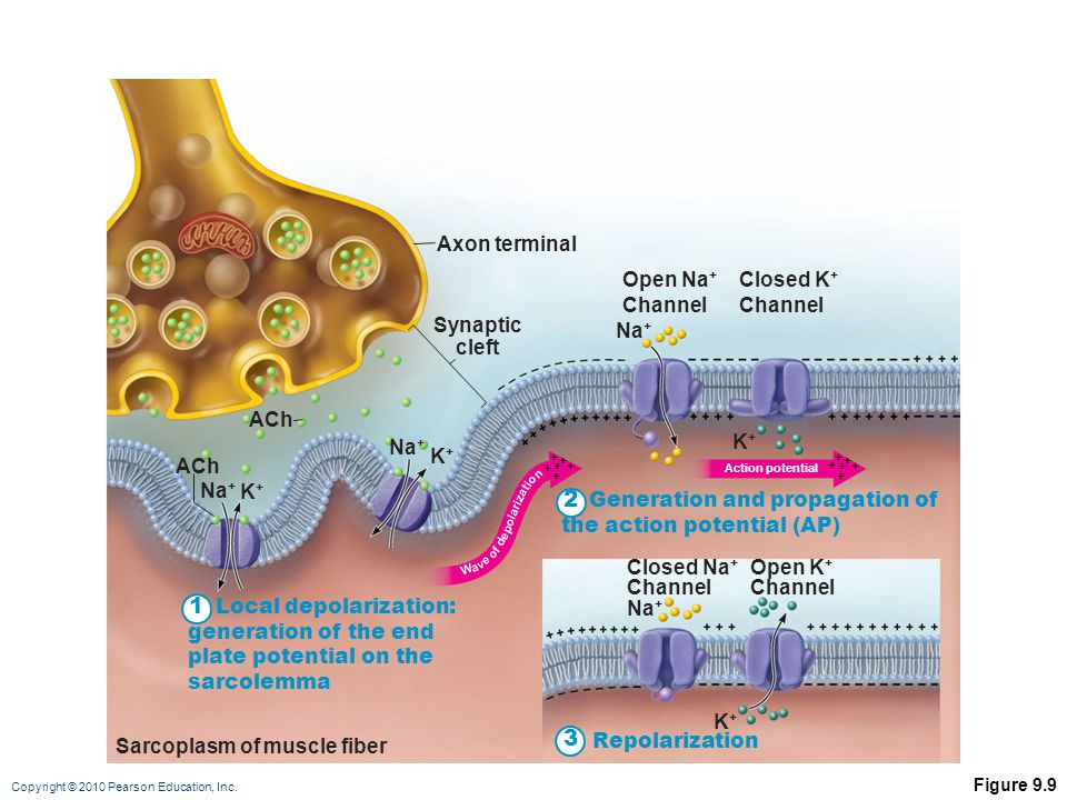 2 1 3 Axon terminal Open Na+ Channel Closed K+ Channel Synaptic cleft
