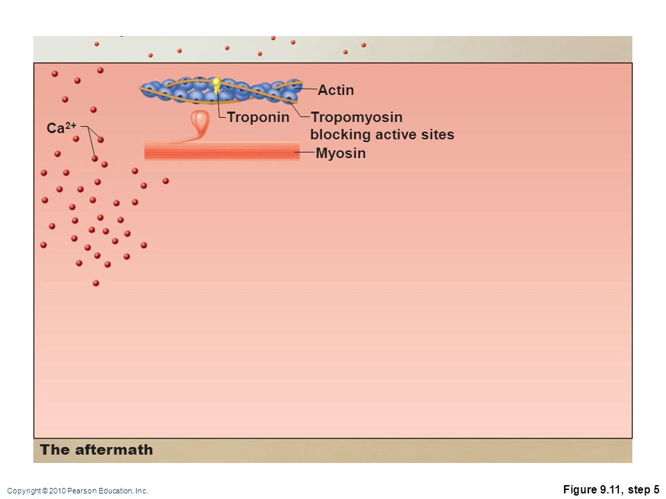 Actin Troponin Tropomyosin blocking active sites Ca2+ Myosin