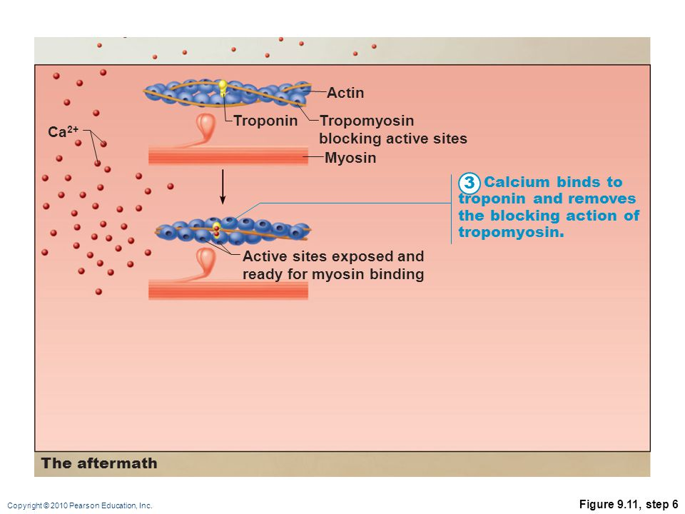 3 Actin Troponin Tropomyosin blocking active sites Ca2+ Myosin
