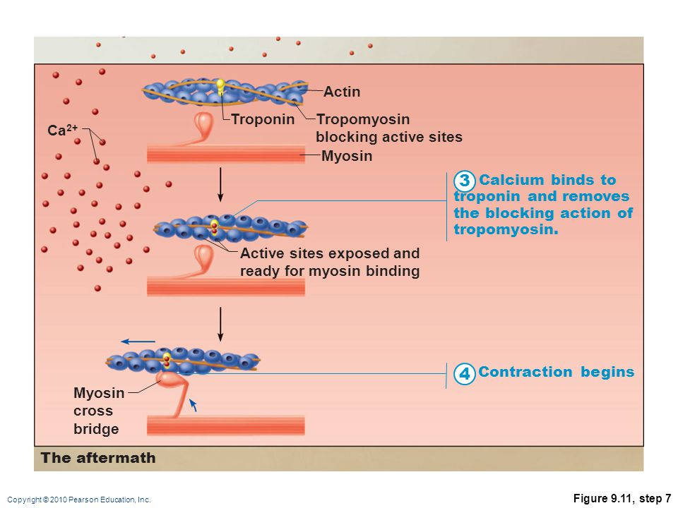 3 4 Actin Troponin Tropomyosin blocking active sites Ca2+ Myosin