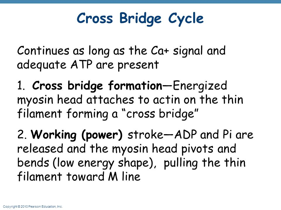 Cross Bridge Cycle Continues as long as the Ca+ signal and adequate ATP are present.
