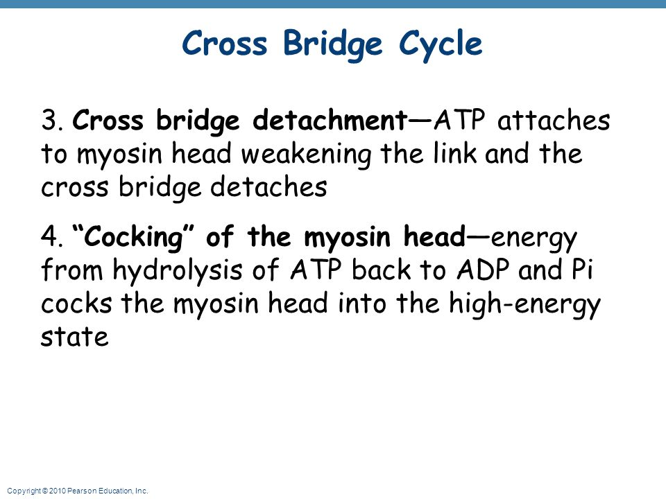 Cross Bridge Cycle 3. Cross bridge detachment—ATP attaches to myosin head weakening the link and the cross bridge detaches.