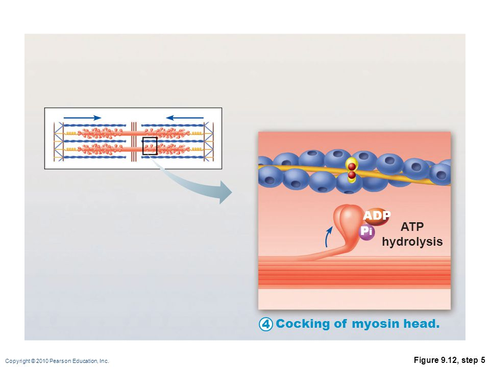 ADP ATP hydrolysis Pi 4 Cocking of myosin head. Figure 9.12, step 5