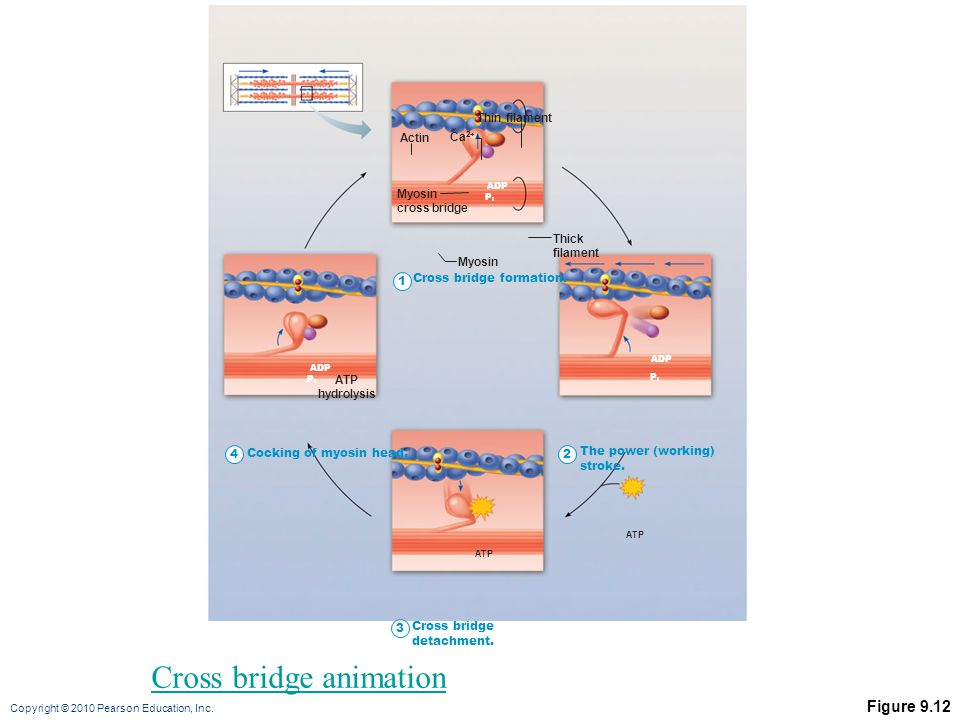 Cross bridge animation