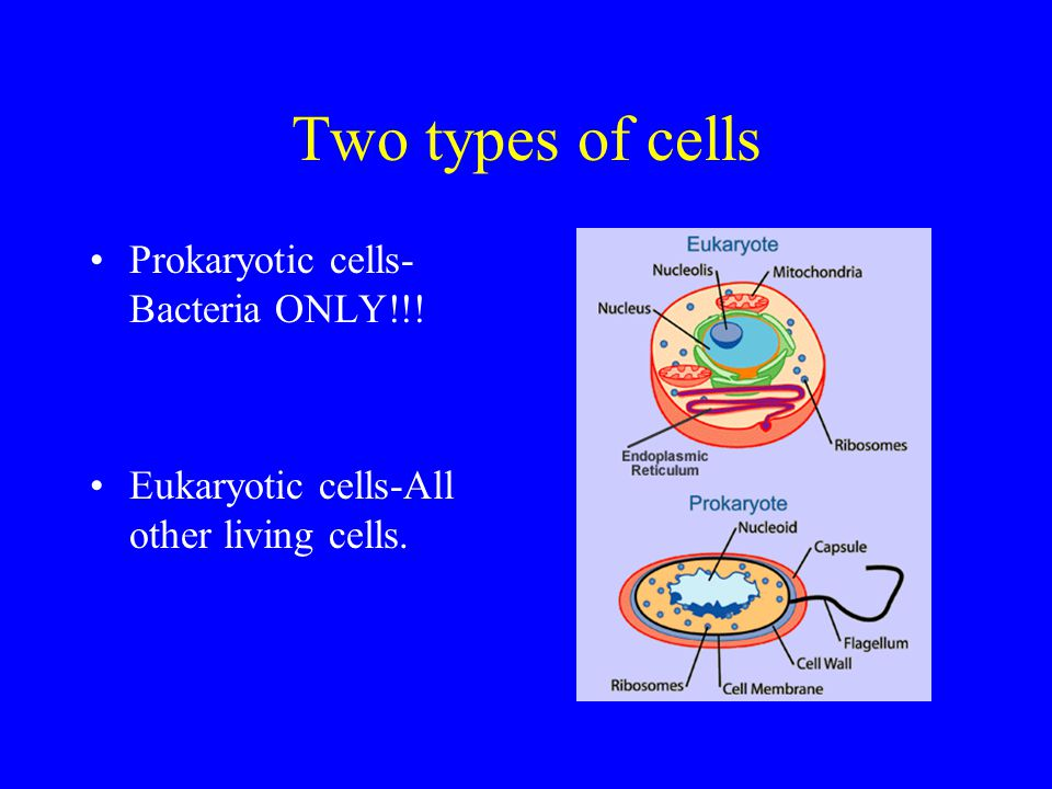 Two types of cells Prokaryotic cells- Bacteria ONLY!!!