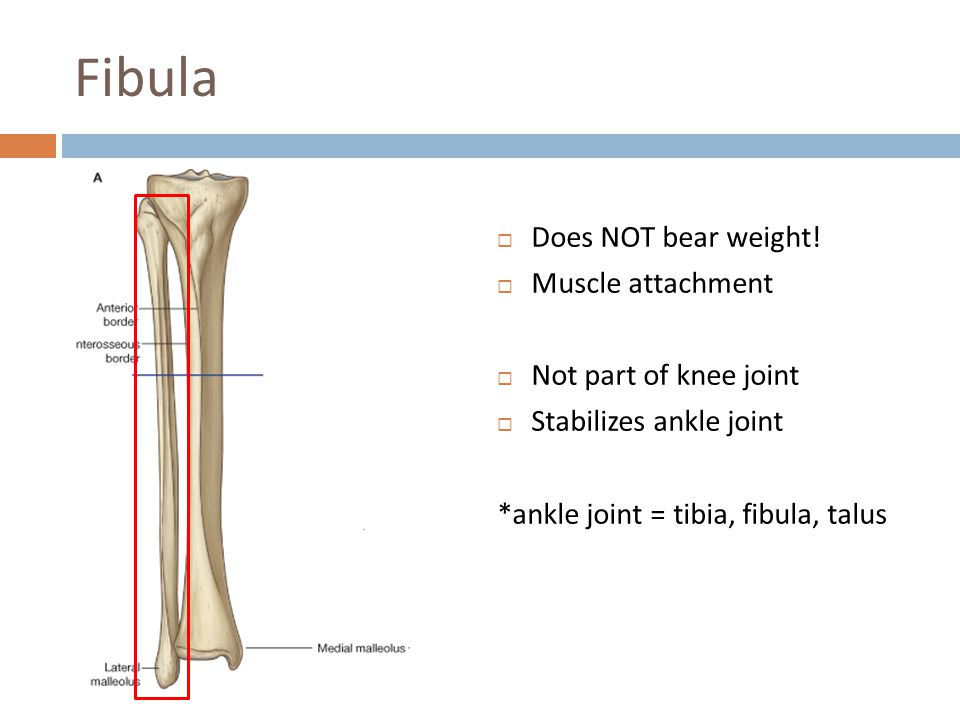 Fibula Does NOT bear weight! Muscle attachment Not part of knee joint