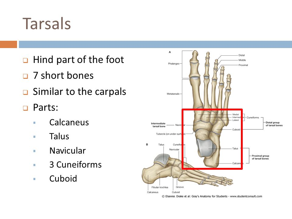 Tarsals Hind part of the foot 7 short bones Similar to the carpals