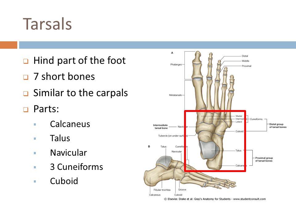 Tarsals Hind part of the foot 7 short bones Similar to the carpals