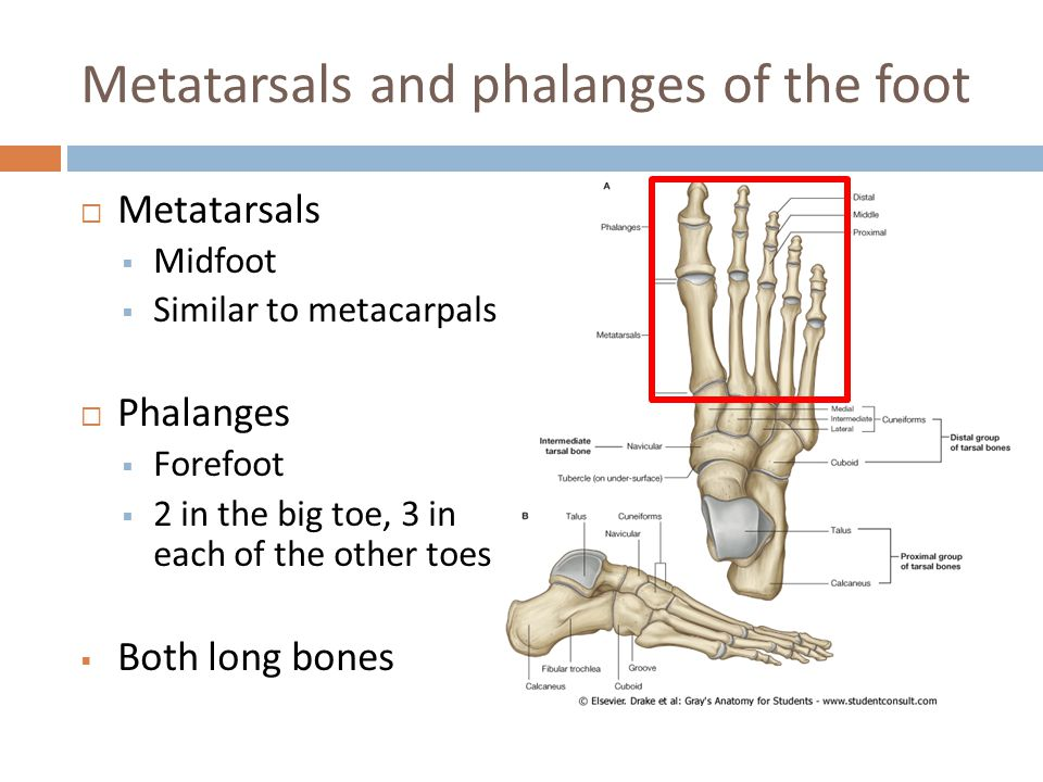 Metatarsals and phalanges of the foot