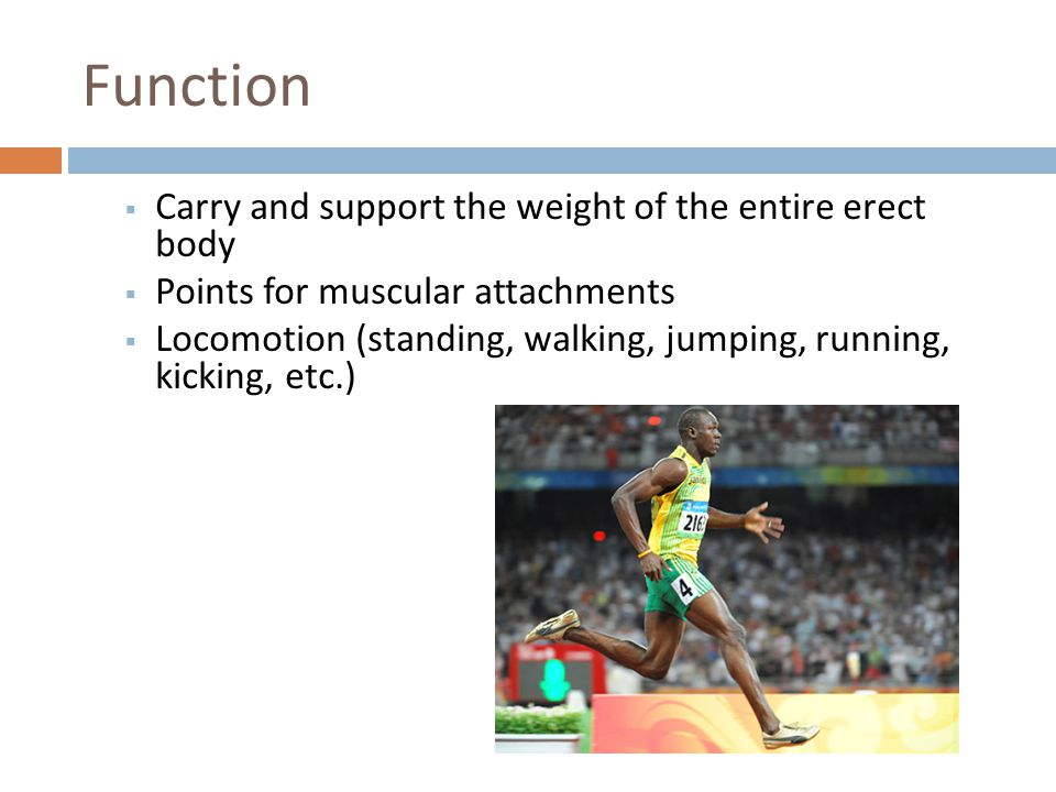 Function Carry and support the weight of the entire erect body