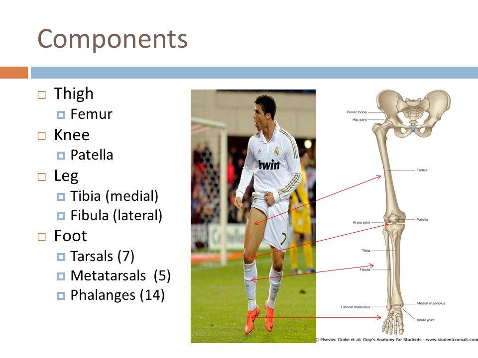 Components Thigh Knee Leg Foot Femur Patella Tibia (medial)