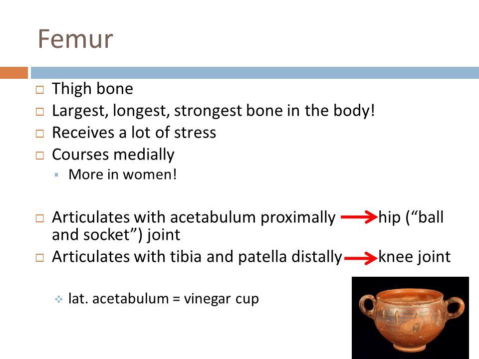 Femur Thigh bone Largest, longest, strongest bone in the body!