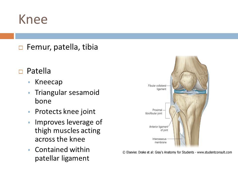 Knee Femur, patella, tibia Patella Kneecap Triangular sesamoid bone