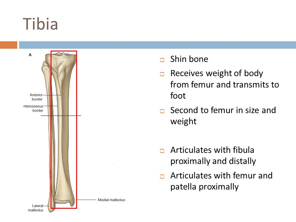 Tibia Shin bone. Receives weight of body from femur and transmits to foot. Second to femur in size and weight.