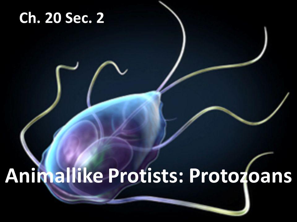 Animallike Protists: Protozoans