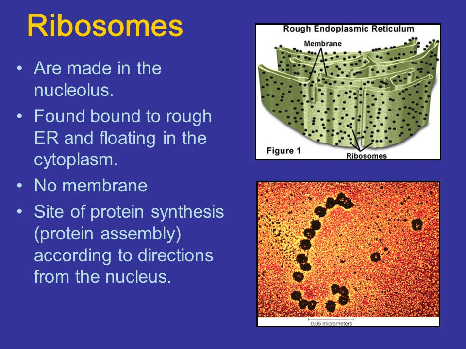 Ribosomes Are made in the nucleolus.