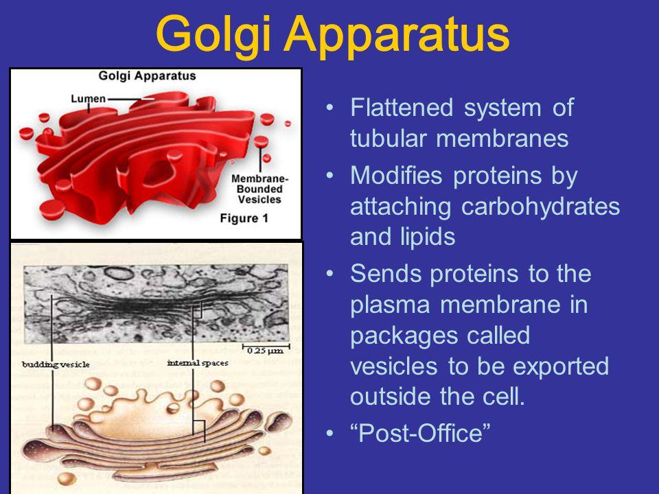 Golgi Apparatus Flattened system of tubular membranes
