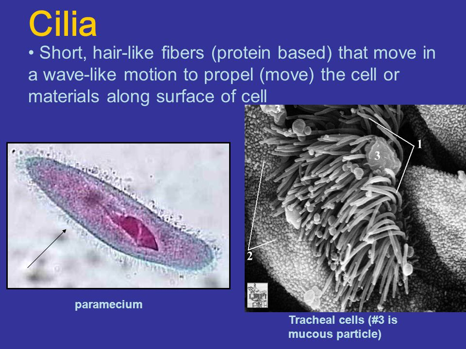 Cilia Short, hair-like fibers (protein based) that move in a wave-like motion to propel (move) the cell or materials along surface of cell.