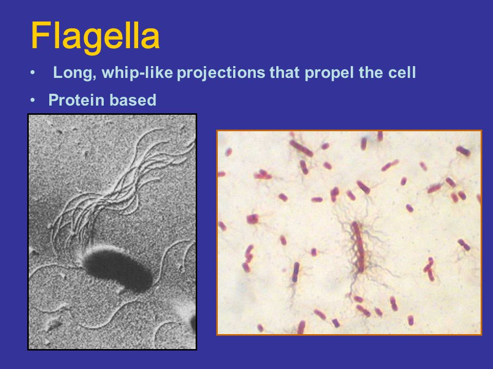 Flagella Long, whip-like projections that propel the cell