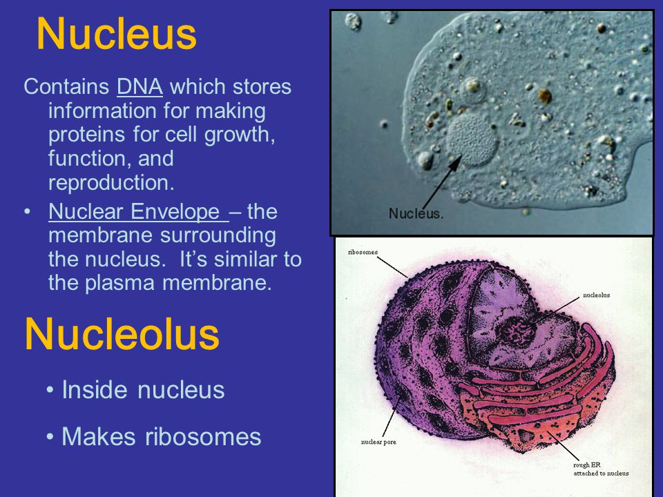 Nucleus Nucleolus Inside nucleus Makes ribosomes