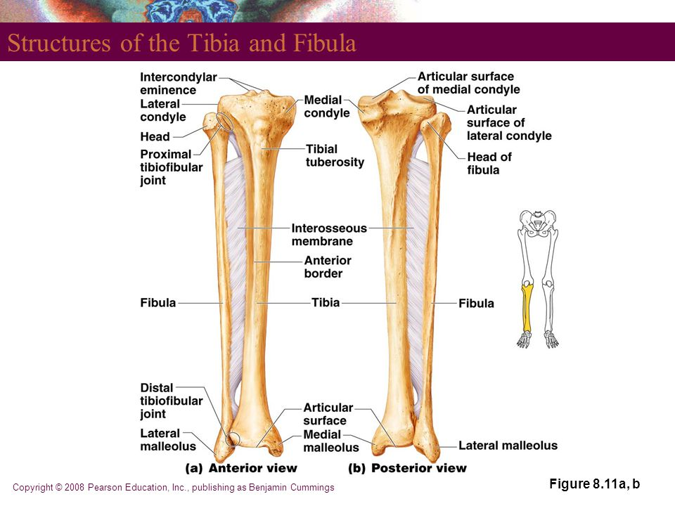 Structures of the Tibia and Fibula