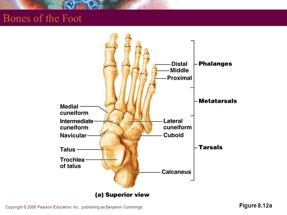 Bones of the Foot Figure 8.12a
