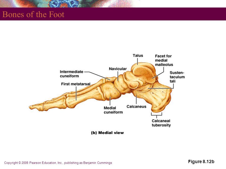 Bones of the Foot Figure 8.12b