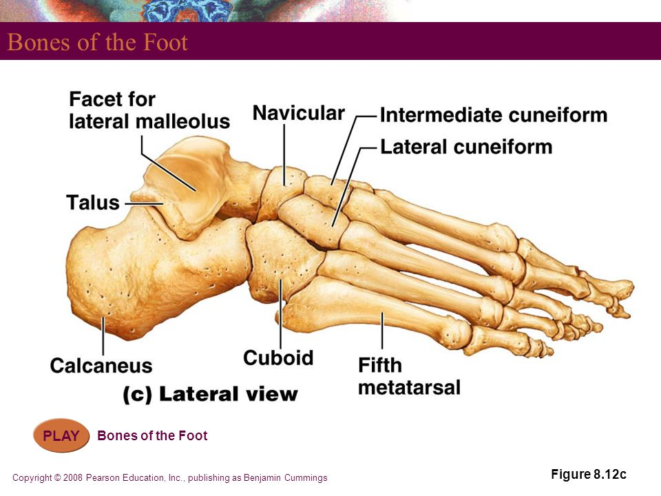 Bones of the Foot PLAY Bones of the Foot Figure 8.12c