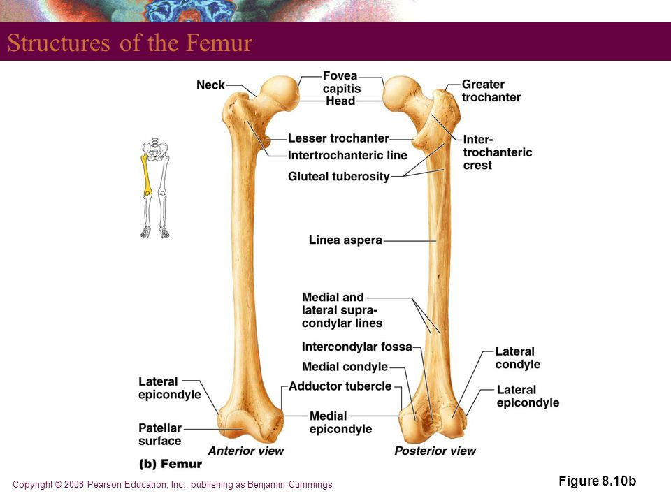 Structures of the Femur