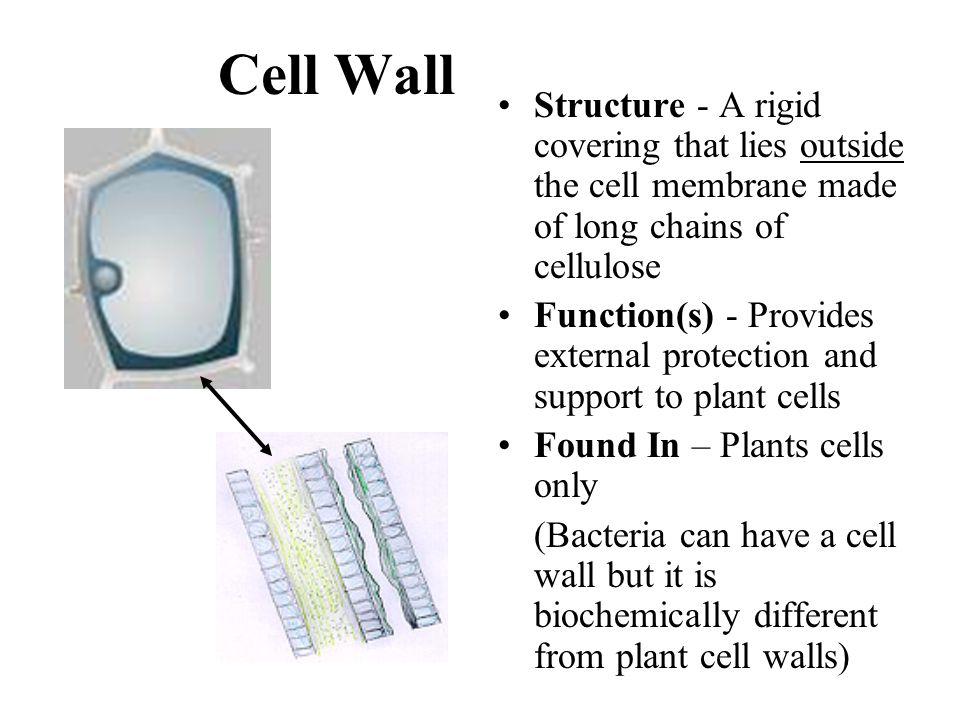 Cell Wall Structure - A rigid covering that lies outside the cell membrane made of long chains of cellulose.