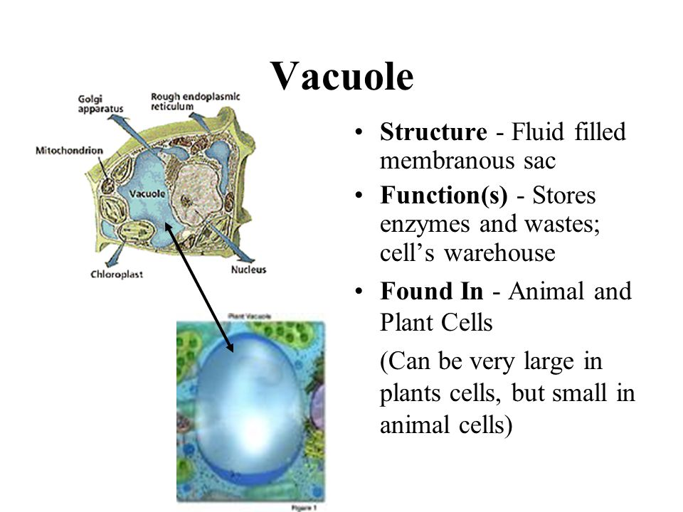 Their Structures and Functions - ppt video online download