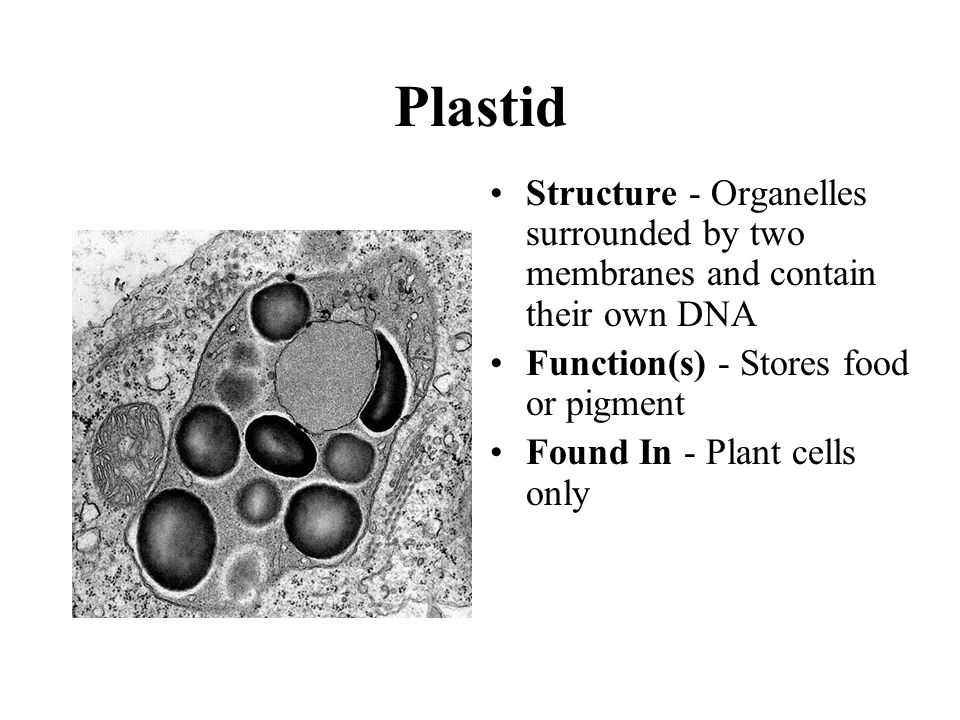 Plastid Structure - Organelles surrounded by two membranes and contain their own DNA. Function(s) - Stores food or pigment.