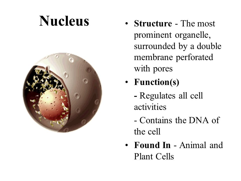 Nucleus Structure - The most prominent organelle, surrounded by a double membrane perforated with pores.