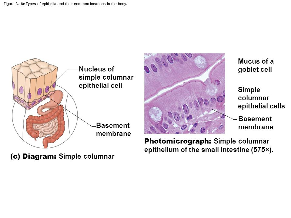 Nucleus of simple columnar epithelial cell