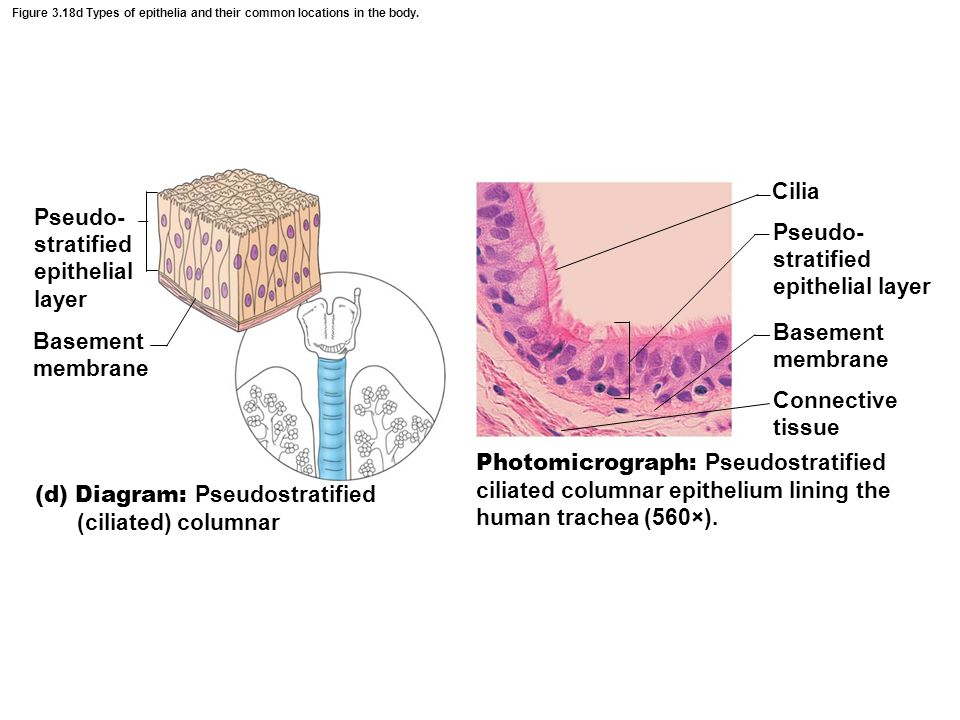 Pseudo- stratified epithelial layer