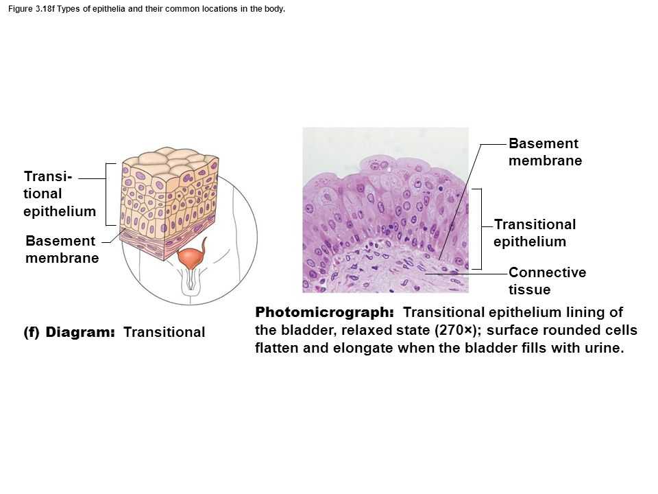 Transi- tional epithelium