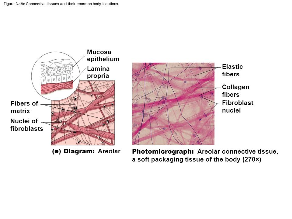 Figure 3.19e Connective tissues and their common body locations.