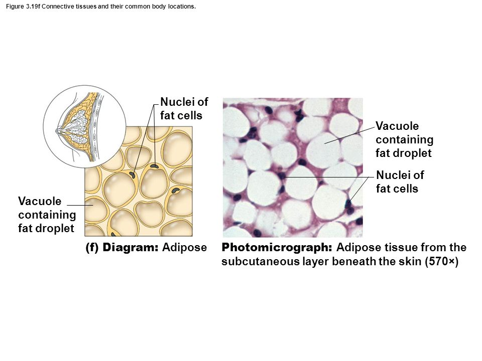 Figure 3.19f Connective tissues and their common body locations.