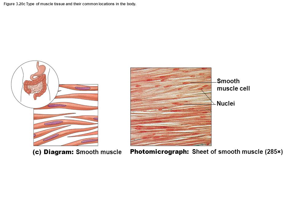 (c) Diagram: Smooth muscle