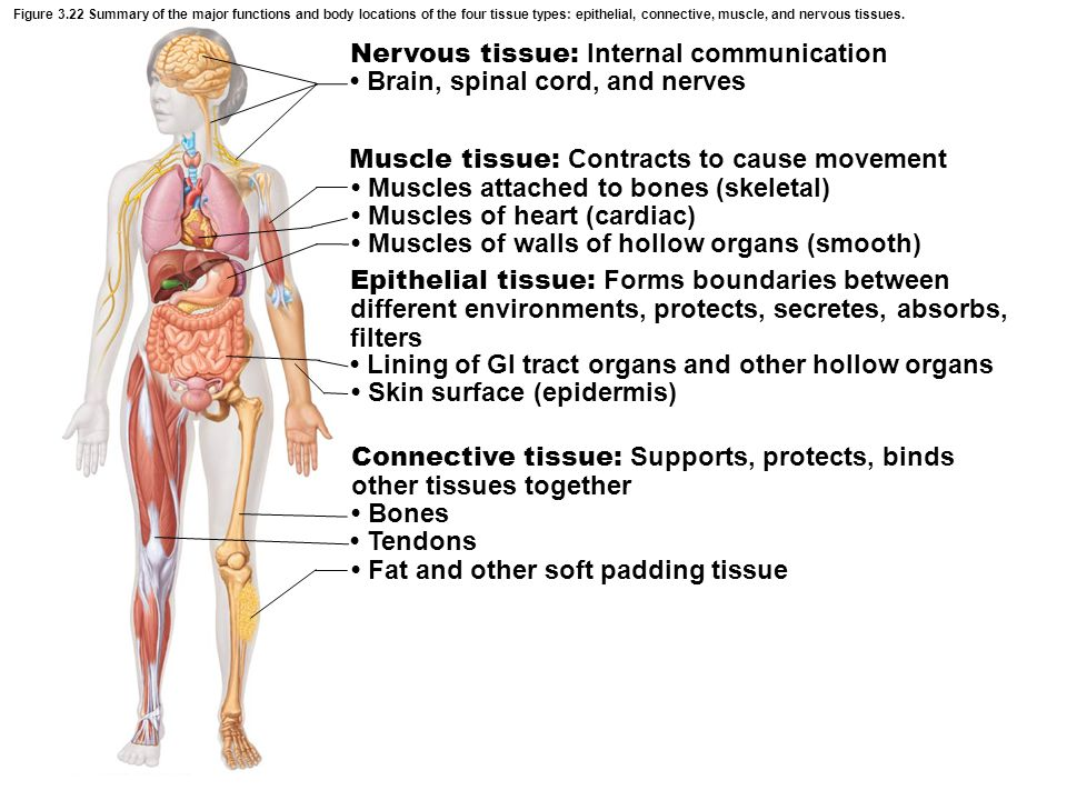 Nervous tissue: Internal communication