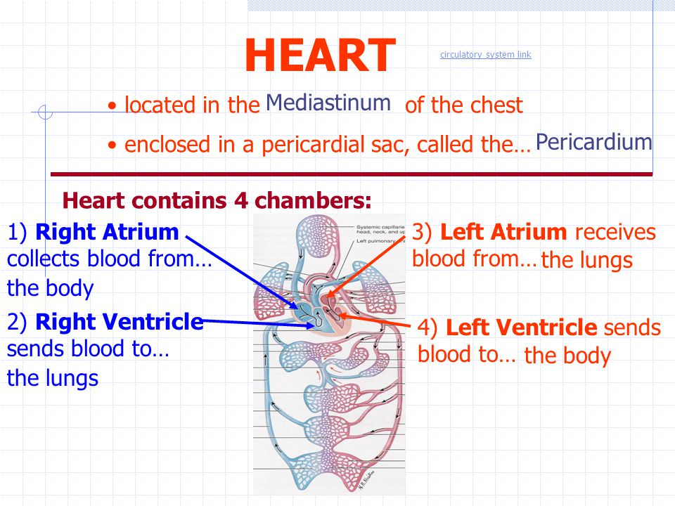 HEART located in the of the chest Mediastinum