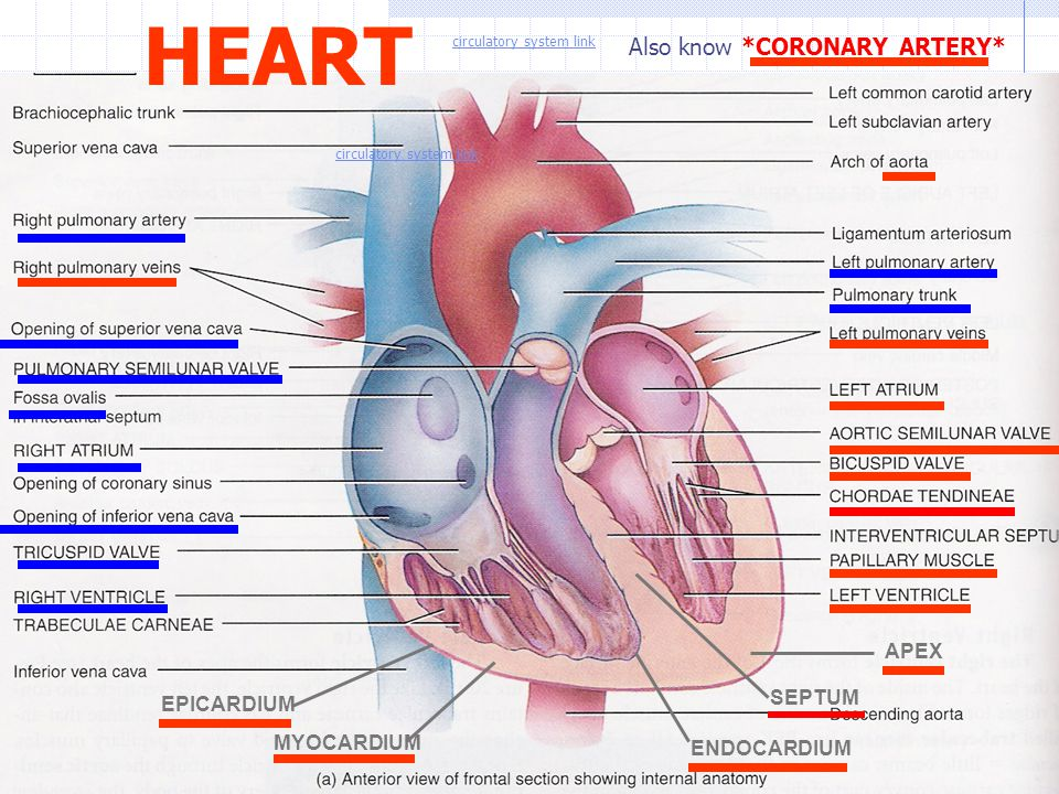 HEART Also know *CORONARY ARTERY* APEX SEPTUM EPICARDIUM MYOCARDIUM
