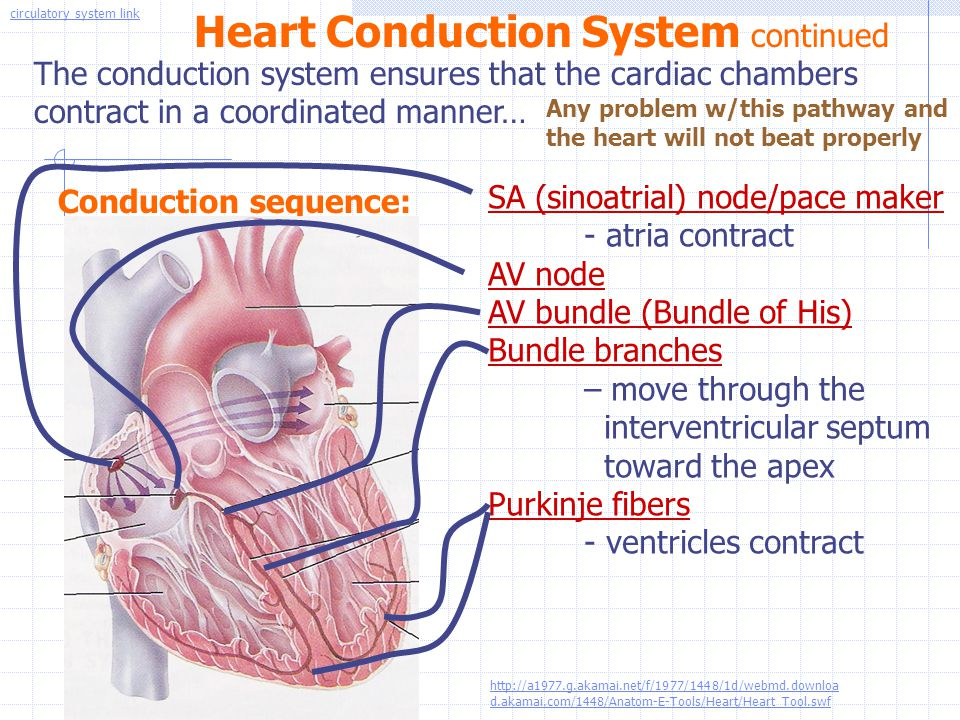 Heart Conduction System continued